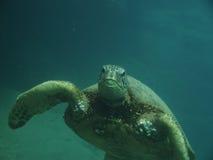 Hawaiian sea turtle. Front view of a Hawaiian sea turtle swimming under water Stock Image