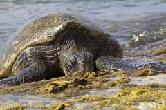 Hawaiian Sea Turtle Stock Images