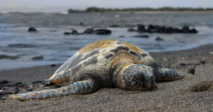Hawaiian Sea Turtle on the Beach Stock Image