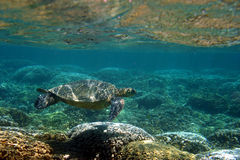Hawaiian Sea Turtle Below the Surface Stock Photos