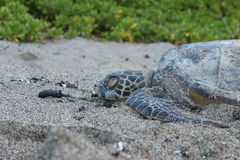 Hawaiian sea turtle Royalty Free Stock Photo