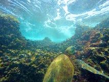 Hawaiian Sea Turtle Swimming Underwater Stock Photo