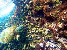 Hawaiian Sea Turtle Swimming Underwater Stock Photos