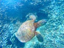 Hawaiian Sea Turtle Swimming Underwater Royalty Free Stock Image