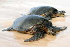 Hawaiian Sea Turtles Royalty Free Stock Photos