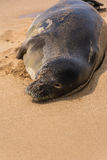 The hawaiian seal resting on the beach Royalty Free Stock Photo