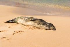 Hawaiian seal sleeping on the sand, Hawaii royalty free stock photo