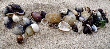 Hawaiian shells in the sand Royalty Free Stock Image
