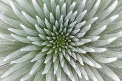 Silversword Symmetry. A Hawaiian silversword taken straight on Stock Photos