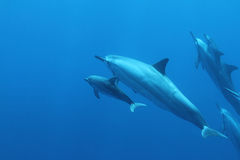 Hawaiian Spinner Dolphin Royalty Free Stock Image