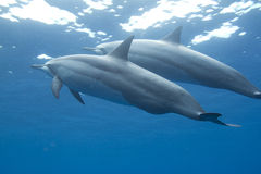 Hawaiian Spinner Dolphin Stock Photography