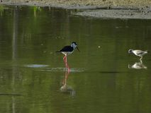 hawaiian stilt in the water royalty free stock images