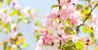 Hawaiian style floral background. Blossoming pink petals flowers close-up. Fruit tree branch on blue sky background. Sunny day light. Shallow depth of field stock photos