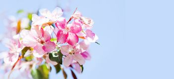 Hawaiian style floral background. Blossoming pink petals flowers close-up. Fruit tree branch on blue sky background Royalty Free Stock Images