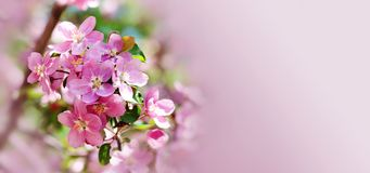 Hawaiian style floral background. Blossoming pink petals flowers close-up. Fruit tree branch on soft blurred background. Sunny day light. Shallow depth of stock image