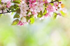 Hawaiian style floral background. Blossoming pink petals flowers close-up. Fruit tree branch on soft green background. Sunny day light. Shallow depth of field stock image