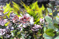 Hawaiian succulents. A view of the red pink hawaiian succulents Royalty Free Stock Photos