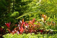 Hawaiian Ti Plant. Latin name Cordyline terminalis surrounded by other green plants Stock Photos