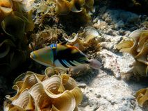 Hawaiian Triggerfish. Spotted while snorkelling in Apai, Samoa, Pacific Islands stock photography