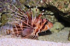 Hawaiian Turkeyfish. Is in aquarium (pterois sphex) Hawaiian name is Nohu Pinao Stock Images