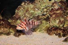 Hawaiian Turkeyfish. Is in aquarium (pterois sphex) Hawaiian name is Nohu Pinao Stock Image