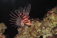 Hawaiian Turkeyfish. Is in aquarium (pterois sphex) Hawaiian name is Nohu Pinao Stock Photo