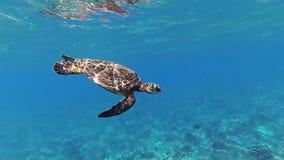Hawaiian turtle underwater. Hawaiian turtle swiming in the ocean stock footage