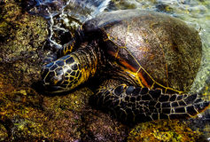Hawaiian Turtle Royalty Free Stock Image