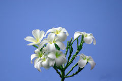 Hawaiian White Plumeria flowers on a bush with a blue sky. Background. It is used mostly in Hawaiian Leis royalty free stock photos