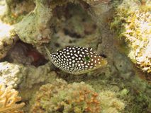 Hawaiian Whitespotted Puffer Royalty Free Stock Photography