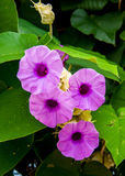 Hawaiian Woodrose flower Stock Images