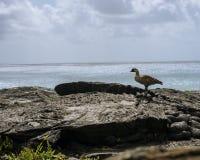 Hawaiibo NeNe Bird, lava och hav fotografering för bildbyråer