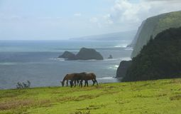 Hawaiin mules grazing. Mules grazing in a field overlooking the ocean Royalty Free Stock Photos
