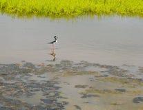 Hawaiin Stilt Bird in Maui. Ae`o Hawaiin Stilt Bird in the Wetlands in Maui Stock Photos