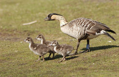 Hawaiinan Goose with Babies Stock Images