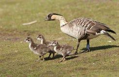 Hawaiinan Goose with Babies Stock Images