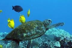 Hawaiische grünes Seeschildkröte Stockfoto