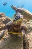 Hawaiische grünes Seeschildkröte vektor abbildung