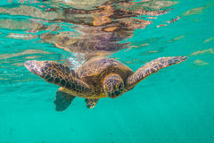 Hawaiische grünes Seeschildkröte stockfotos