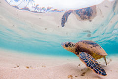 Hawaiische grünes Seeschildkröte lizenzfreies stockbild