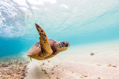 Hawaiische grünes Seeschildkröte stockbilder