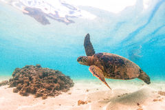 Hawaiische grünes Seeschildkröte stockbild