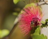 Hawaiische Honigbiene Stockfotografie