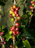 Hawaiische Kaffeebohnen. Stockfoto