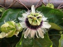 Hawaiische Lilikoi-Blume Lizenzfreies Stockbild