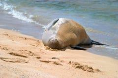 Hawaiische Mönchs-Robbe auf sandigem Strand Lizenzfreies Stockfoto