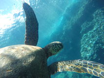 Hawaiische Meeresschildkröte, die unter Wasser schwimmt Stockfotos