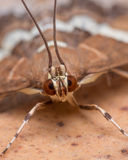 Hawaiische Webworm-Motte der roten Rübe (Spoladea Recurvalis) schließen oben lizenzfreie stockfotos
