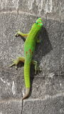 Hawaiischer Gecko Stockbilder