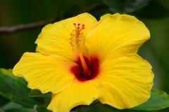 Hawaiischer Hibiscus stockfotos